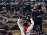 Thế Giới Lên Án Lễ Hội Thảm Sát Động Vật Tế Thần Kinh Hoàng Ở Nepal