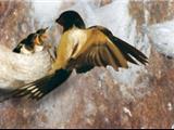 Câu Chuyện Phật Giáo Số 27 – Cuộc Đời Đầy Chung Thủy Đau Thương Khi Làm Tổ Của Loài Chim Yến