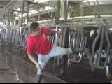 Florida: Cảnh Sát Điều Tra Hình Sự Cơ Sở Nuôi Bò Sữa Hành Hạ Súc Vật